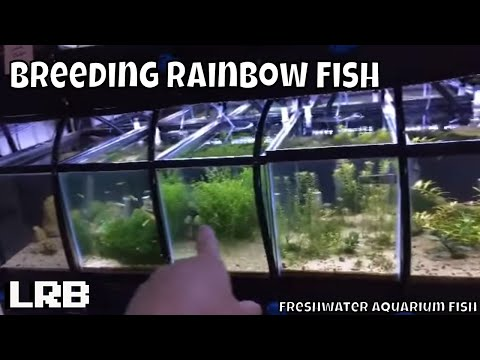 🔴 How I Breed Most All Types Of Rainbow Fish Freshwater Aquarium Fish
