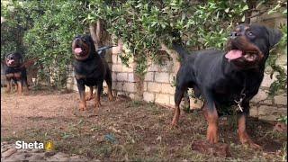 اضخم مزرعة روت وايلر ف مصر (سلسة مزارع الكلاب 1)