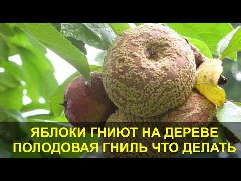 Гниют Яблоки на Дереве. Плодовая Гниль - Монилиоз, что Делать как Лечить. | плодовая | монилиоз | лечение | яблони | яблоки | дереве | яблок | сливы | гниют | гниль
