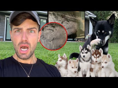 We're Having EIGHT Puppies! - Pregnancy Update | Mister Preda