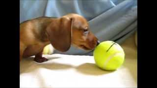 Doxie Home Www.doxiehome.com Cute&playful Miniature Dachshund Puppies Nj ,de, Md, Ct, Pa For Sale