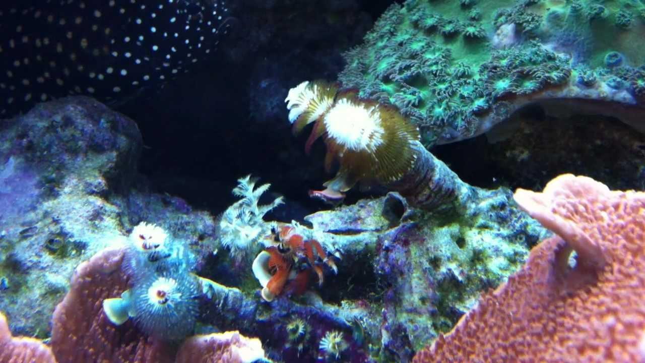 Christmas Tree Worm Rock With Marine Betta Youtube