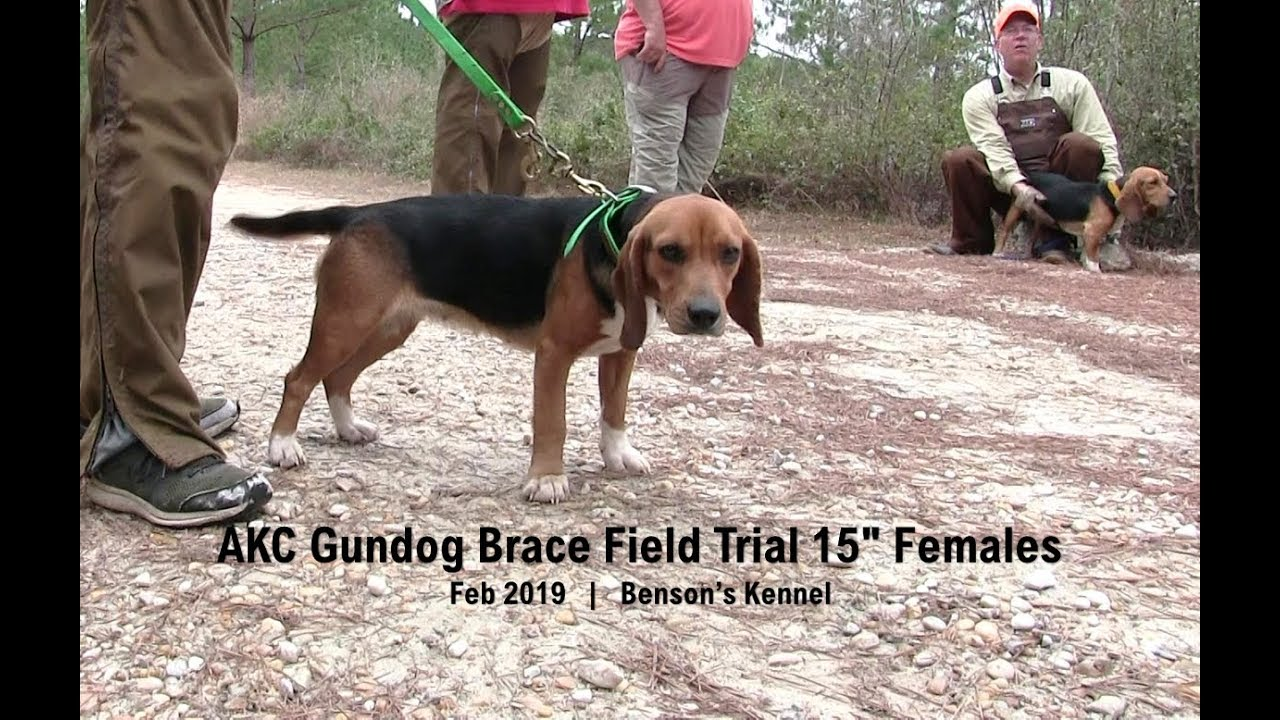 Akc Gundog Brace Field Trial 15 Females Feb 2019 Benson S