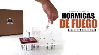 HORMIGAS DE FUEGO en mi casa 😱 La mudanza de las Myrmica rubra
