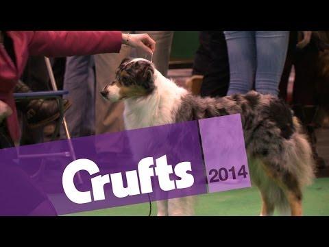 Australian Shepherd | Best of Breed | Crufts 2014