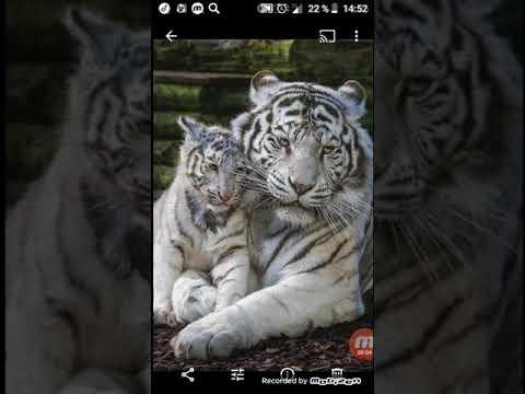 Картинки про тигров