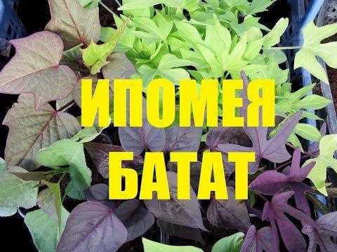 Выращивание ипомеи батат