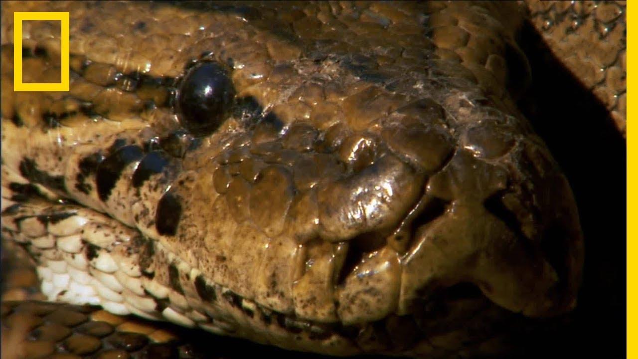 Download Le python de Seba peut engloutir entièrement sa victime