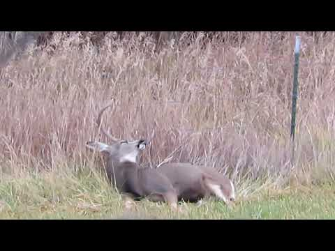 Mule Deer Dozing Off! Hilarious!