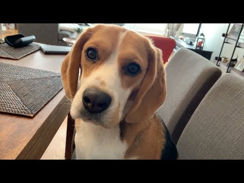 Cute beagle wants my breakfast