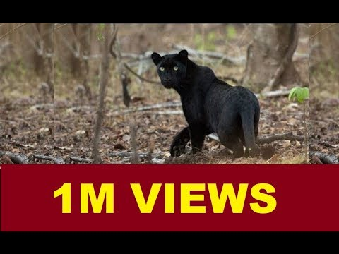 MUDUMALAI NATIONAL PARK WILD ANIMALS | TIGER in RESERVE | 2016