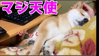 人のように足ピクさせて寝てる柴犬ハナはなでても起きません -- Shiba is sleeping.-- thumbnail