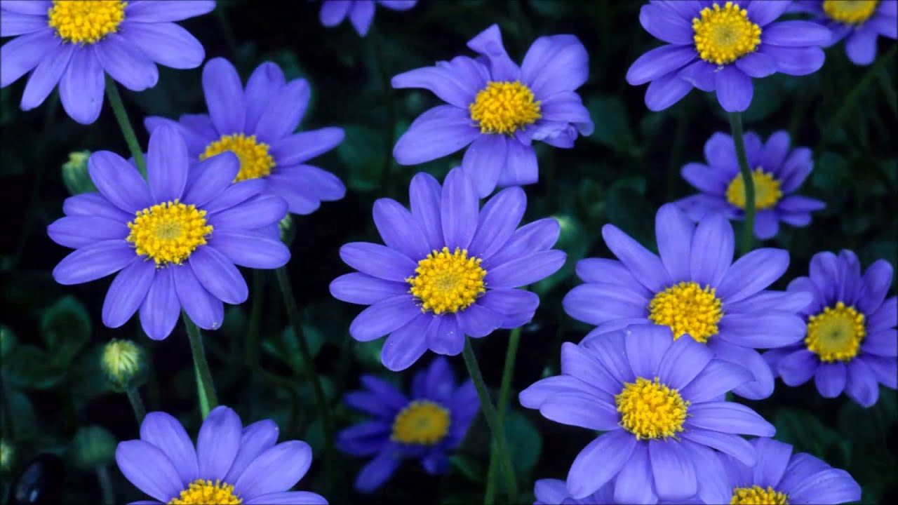 Aster flower youtube aster flower izmirmasajfo Image collections