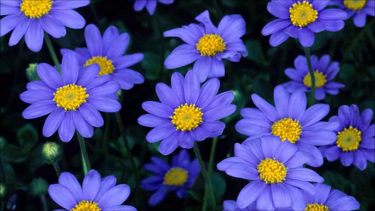 Aster flower youtube aster flower izmirmasajfo