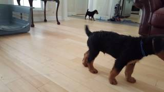 Airedale Terrier Puppies for Sale Video - S & S Family Airedales - House Trained Airedales