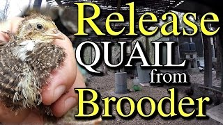When to Release Quail From Brooder to Pen & Other Tips