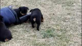 Rottie Puppies For Sale