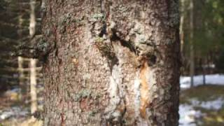 003 springtime woodland kevätmetsä vår skog piano