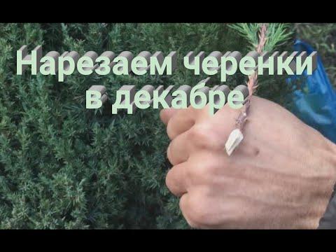 Нарезаем черенки хвойных растений