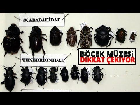 Böcek Müzesinde 4 Bine Yakın Tür Böceği Bulunuyor
