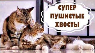 Котята мейн куны - 29. Расчесываем роскошные хвосты