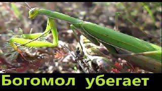 Богомол в природе. Жизнь в деревне.  Mantis in the nature. Life in Russia.