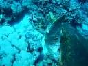 scuba, diving, tauchen, hurghada, schildkröte, turtle