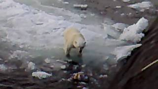 Белый медведь и русская подводная лодка / polar bear and Russian Submarine