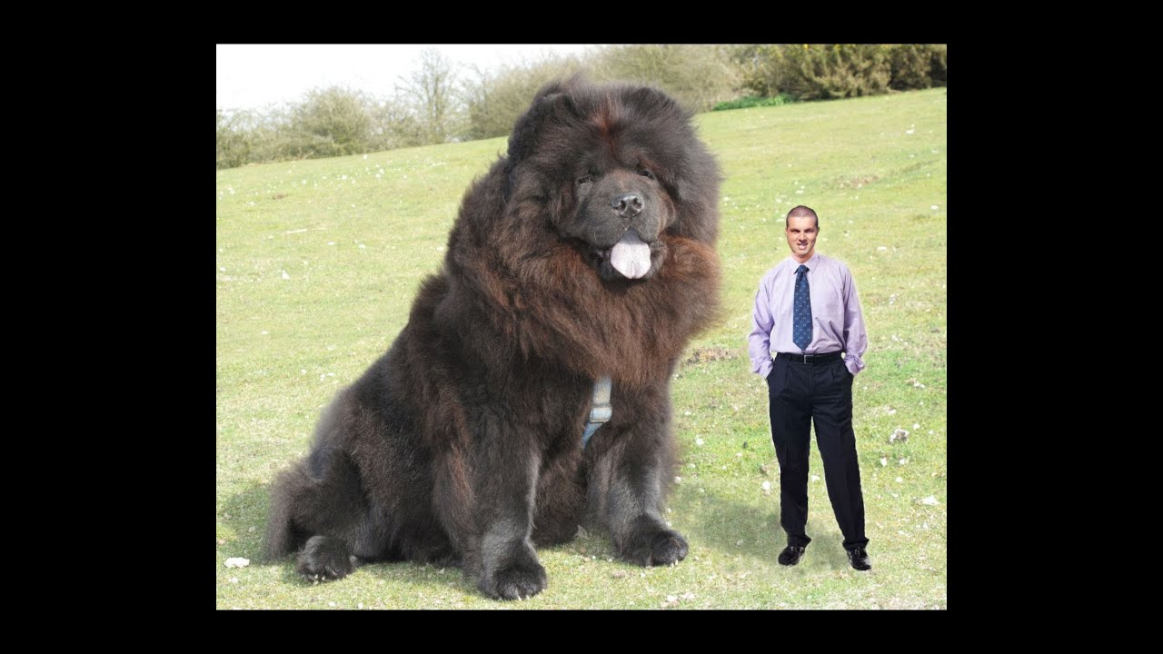 The biggest dog in the world? - YouTube