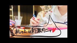 勉強ができない理由にならないかな。kitten prevent me studying enthusiastically
