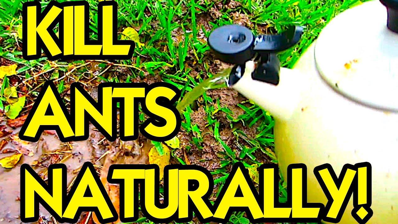 HOW TO KILL ANTS NATURALLY