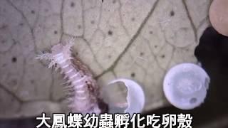 大鳳蝶幼蟲孵化吃卵殼.