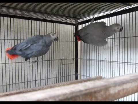 African Grey Parrots Breeding Tips | Congo African Grey