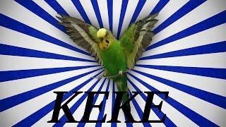 Papağan Ve Muhabbet Kuşu Konuşturma Keke Sesi Ses Kaydı 1 Saat