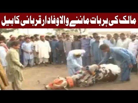 Eidul Azha: Unique & Loyal Sacrificial Animal of Karachi | 16 August 2018 | Express News thumbnail