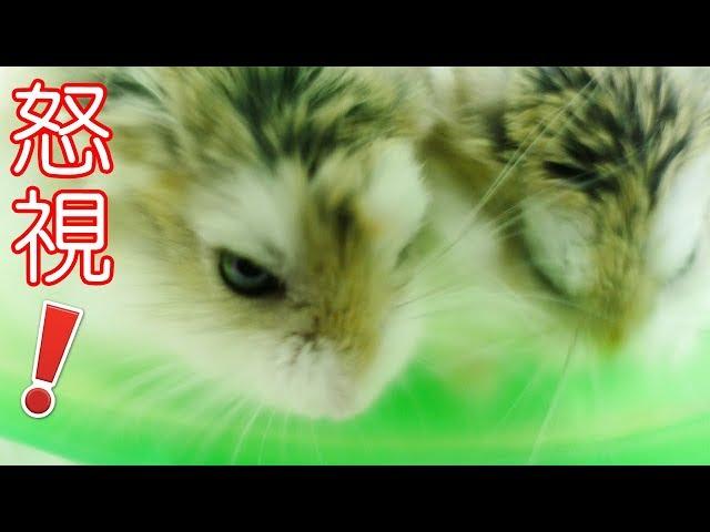 ????????????? (-_-) ????????! Angry Hamsters