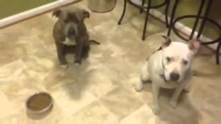 Good Off Leash K9 Trained Pit Bulls Showing Off! Pit Bull Training Northern Virginia Top