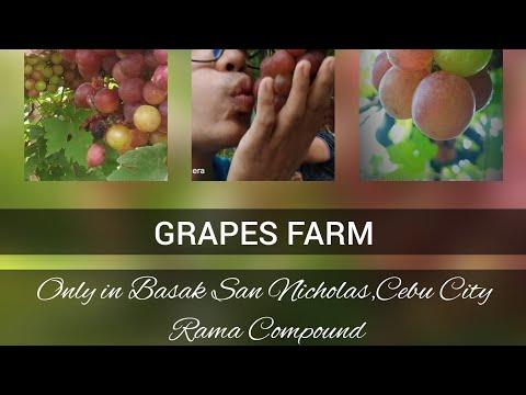 GRAPES FARM IN BASAK PARDO SAN NICHOLAS , Rama Compound