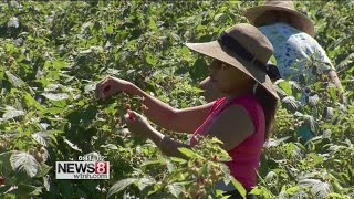 Cruisin' Connecticut – The Perfect Pick: Raspberries at Bishop's Orchards