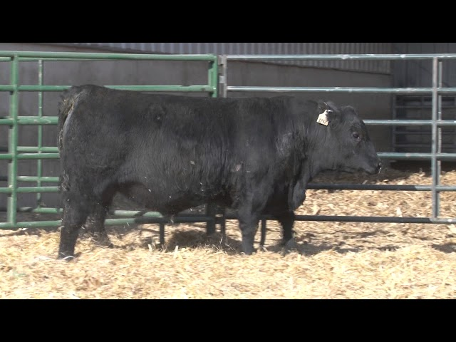 Schiefelbein Angus Farms Lot 97