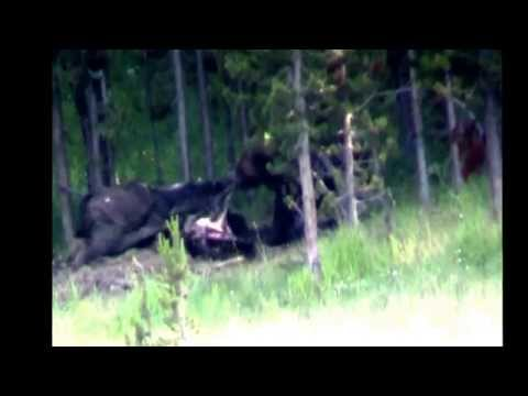 Grizzly bear eats Bison carcass   Yellowstone