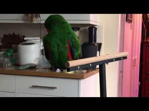 Talking Eclectus Parrot