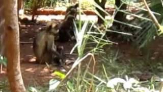 Monkey family at Namaste Yoga Farm in Gokarna India