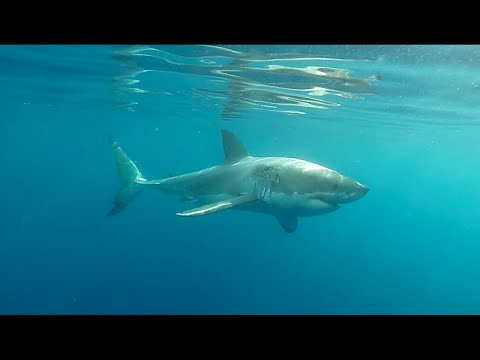 Great white shark swims around boat near Victor Harbor