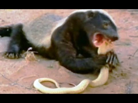 National Geographic Documentary - Snake Killer Honey Badger - Kalahari - Wildlife Animal
