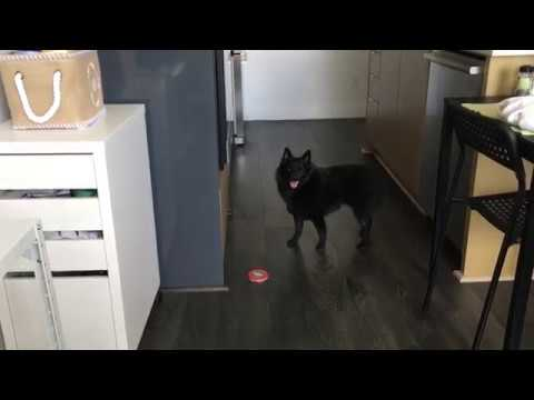 Trying to work with a Schipperke in the house