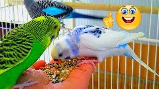 ЧЕМ КОРМИТЬ попугая.ВОЛНИСТЫЕ ПОПУГАИ.Еда: зелень,береза,пшенка