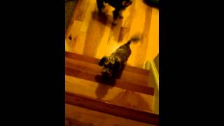 Cute Video Of Dog Learning To Go Up The Stairs