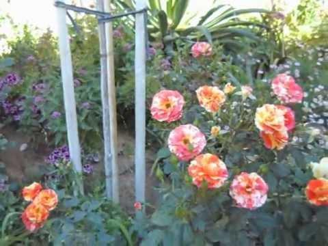Oranges and Lemons Floribunda Rose