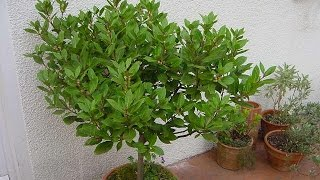 Benefits of Growing Bonsai Herbs : Sweet Bay Laurel
